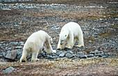 Two polar bears preparing to fight
