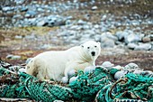 Polar bear sitting on discarded fishing nets