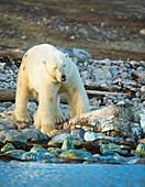 Polar bear eating dead whale