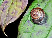 Strawberry snail shell