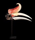 Rhinoceros hornbill skull