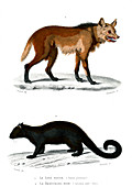 Maned wolf and binturong, 19th century