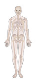 Male skeleton, illustration