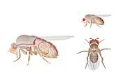 Fruit fly anatomy, illustration