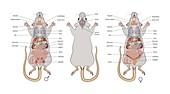 Mouse anatomy, illustration