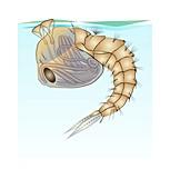Anopheles mosquito pupa, illustration