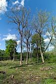 Ash dieback, Ashwellthorpe wood, Norfolk