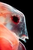 Water flea, light micrograph