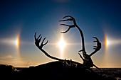 Caribou antlers at sunrise