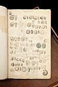 Illustrations of foraminifera