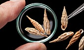 Albinaria land snail shells