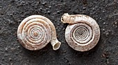 Hendersoniella land snail shells