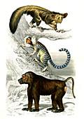Lemur, marmoset and baboon, 19th century