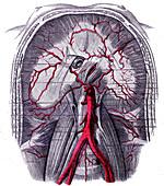 Abdominal aorta, 1867 illustration