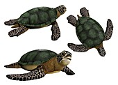 Sea turtles, illustration