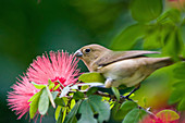 Finch picking a red flower