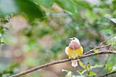 Juvenile Gauldian Finch on a tree branch