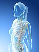 Female upper body lymphatic system, illustration