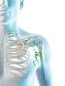 Lymph nodes, illustration