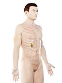 Gallbladder, illustration