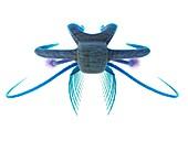 Marella marine arthropod, illustration