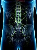 Abdominal lymphatic system, illustration