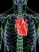 Heart anatomy, illustration