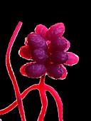Stachybotrys fungus, illustration