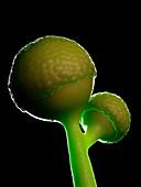 Rhizopus fungus, illustration