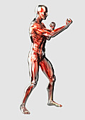 Male anatomical model in fighting stance, illustration