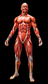 Human muscles and tendons, illustration