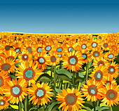 Field of sunflowers, illustration