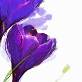 Close up of purple crocus, illustration