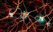 Human nerve cells, illustration