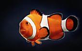 Single clown fish, illustration