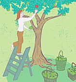 Woman picking apples, illustration