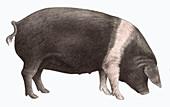 British saddleback pig, illustration