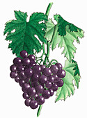 Bunch of purple grapes, illustration