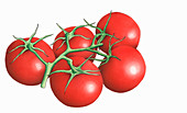 Red Elegance tomatoes on the vine, illustration