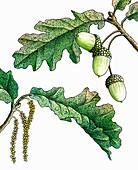 Oak leaves and acorns, illustration