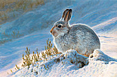 Mountain hare in snow, illustration