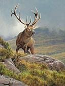 Red deer stag, illustration