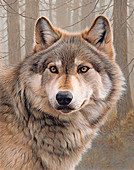 North American timber wolf, illustration