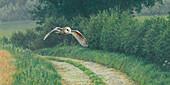 Barn owl flying over rural lane in countryside, illustration