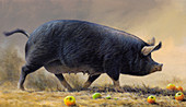 Black pig walking surrounded by apples, illustration