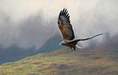White-tailed sea eagle flying, illustration