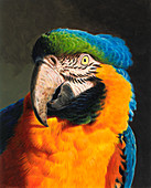 Blue and gold macaw parrot, illustration