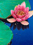 water lily and lily pad, illustration