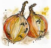 Two onions, illustration