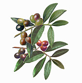 Olives on branch, illustration